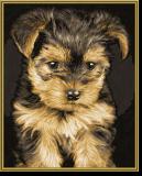 Malen nach Zahlen - Yorkshire Puppy